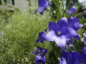 Balloon flowers and Babybreath