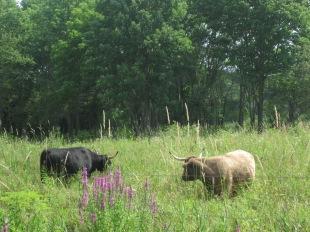 Cows at Minute Man NHP