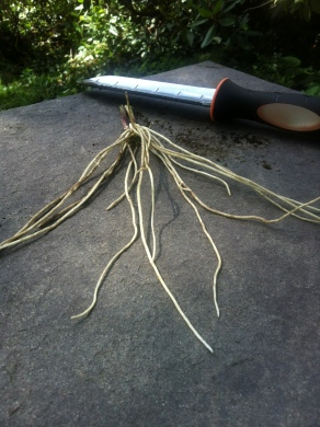 Black swallow wort roots