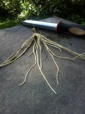 Black swallow wort roots