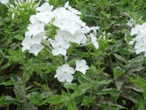 A picture of a white phlox shrub. This is one of the plants I am looking at for our plant healthcare project. The leaves are infested with powdery mildew.