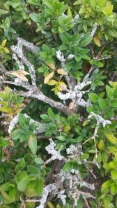 Lichen on Boxwood.