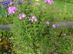 A phlox shrub with purple blooms and powdery mildew at the base.