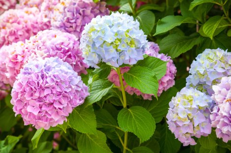 blue-pink-hydrangea