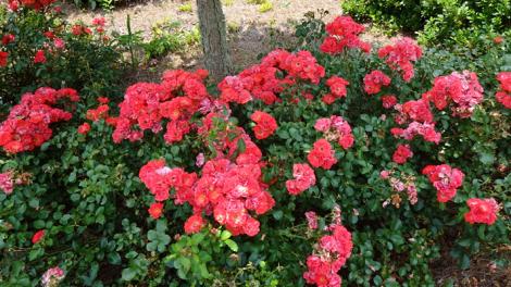 drift-rose