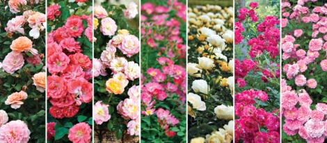 drift-roses